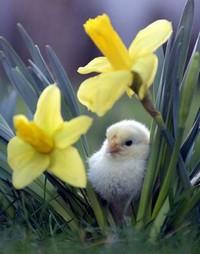 spring_chick